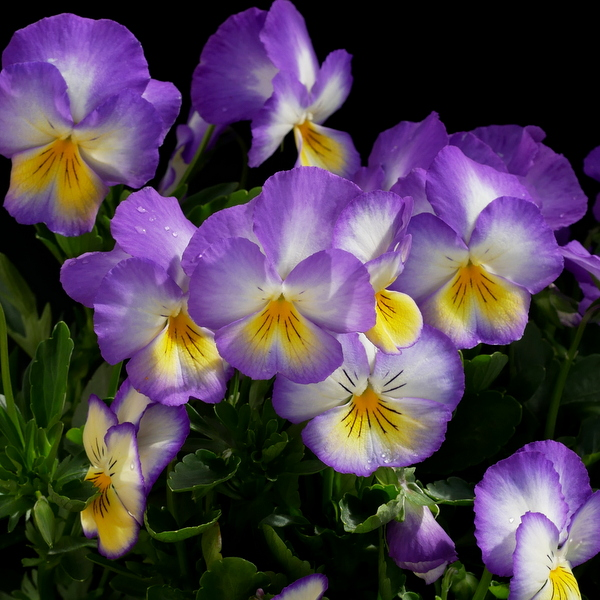 Pansy Moonlight Bay