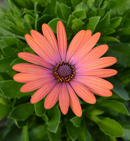 Osteospermum Serenity Bronze Magic