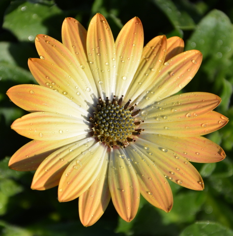 Osteospermum Serenity Peach Magic